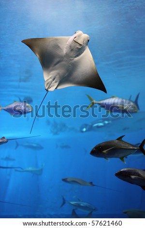 Huge manta ray flying underwater among other fish