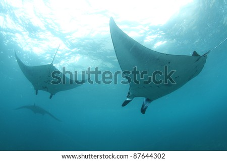 huge manta rays swimming in formation