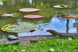 Huge monitor lizard is hunting on turtle near Victoria Amazonica Giant Water Lilies