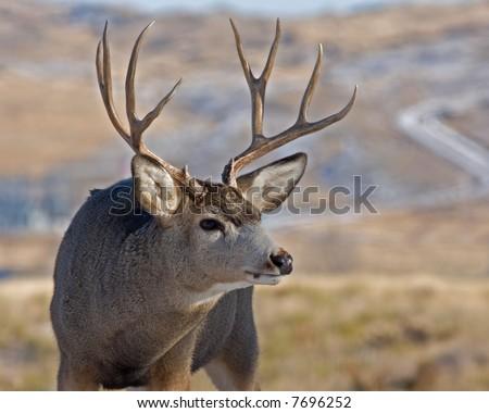 Huge Montana Mule Deer Buck