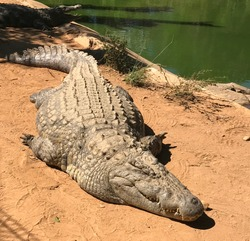 Huge Nile crocodile, the biggest predator of Madagascar. Crocodile lazing in the sun at the shore of a lake of zoological botanical park Croc Farm. Dangerous aggressive animal lie on the ground.
