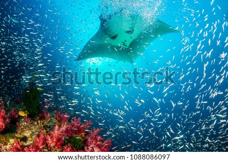 Huge Oceanic Manta Ray swimming over a colorful, healthy tropical coral reef Foto stock ©