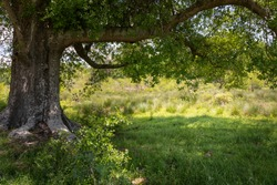 Huge old tree with abundant shade in lush grass, sunny meadow beyond, horizontal aspect
