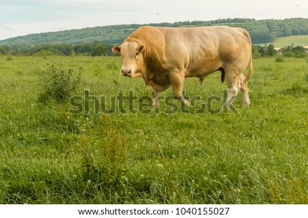Huge pedigree limosine bull grazing in summer meadow