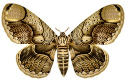 Huge Philippine Brahmin Moth (Brahmaea hearseyi, female) isolated on white background