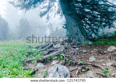 Huge pine in a dense fog on the trail leading to the top of the mountain. Early spring. Peca peak, Slovenia.