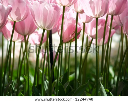 Huge pink tulips as seen from the ground