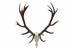 huge red deer skull with beautiful antlers, hunting trophy isolated over white background ( Cervus elaphus )