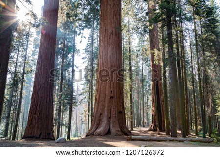 Huge redwoods located at the Sequoia National Park