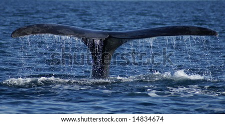 huge right franca whale tail off the water - stock photo