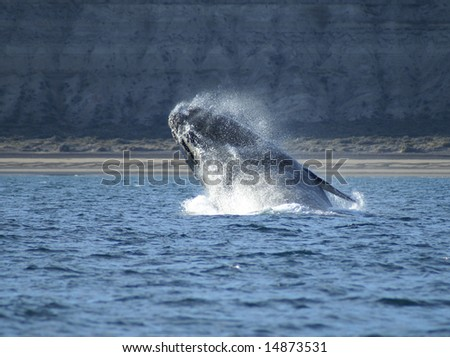 huge right whale with most of its body off the water