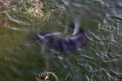 huge River catfish and fish Yaz in cooling cooling pond of Chernobyl nuclear power plant, Pripyat River. Big catfish and poison feed on bread. Top view of huge river catfish in river