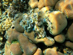 Huge Sponge with colorful corals, a big shell and fishes in the clear blue water of the Red Sea near Hurgharda, Egypt