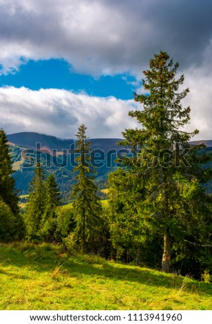 Huge spruce trees of Carpathian forests. beautiful scenery on a cloudy day. mountain Hymba of Borzhava ridge in the far distance #1113941960