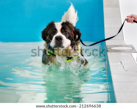 Huge St Bernard dog taking a swim in indoor swimming pool for dogs. #212696638