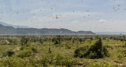 Huge swarm of locusts in Omo valley, Ethiopia