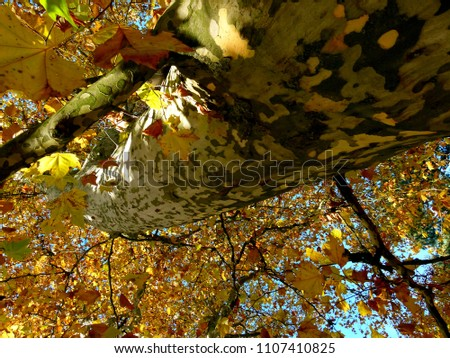 huge sycamore with autumn leaves in full sun,