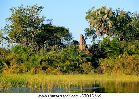 Huge Termite Mound in Okavango Delta Botswana Africa