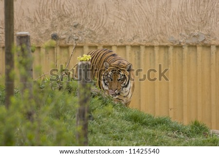 Huge tiger prowling for a prey