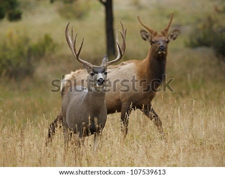 Huge Trophy Mule Deer Buck with young bull Elk in background