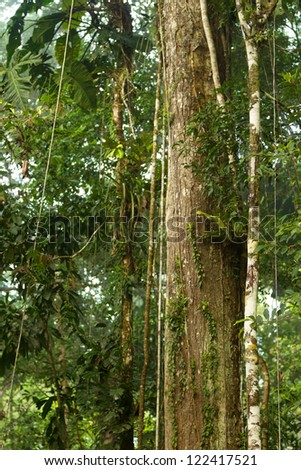 HUGE VINES IN ECUADORIAN YASUNI NATIONAL PARK