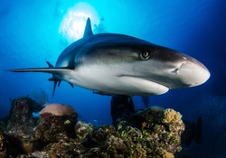 Huge white shark in blue ocean swims under water. Sharks in wild. Marine life underwater in blue ocean. Observation of animal world. Scuba diving adventure in Caribbean, coast of Cuba