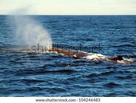 hugh sperm whale on his way