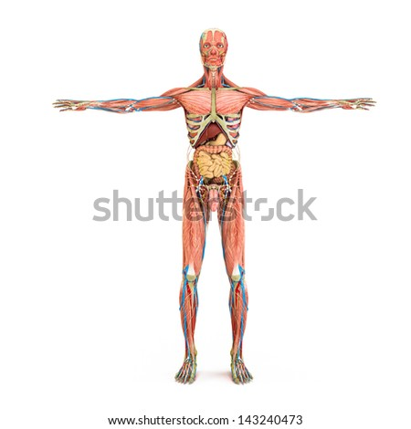Human anatomy and muscles isolated on a white background