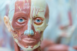 Human anatomy and physiology model in the laboratory for education.