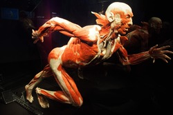 Human Anatomy Exhibition by Gunther von Hagens at Menschen Museum, Körper Welten Berlin, Germany. The anatomist  invented the technique for preserving biological tissue specimens called plastination.