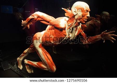 Human Anatomy Exhibition by Gunther von Hagens at Menschen Museum, Körper Welten Berlin, Germany. The anatomist  invented the technique for preserving biological tissue specimens called plastination.