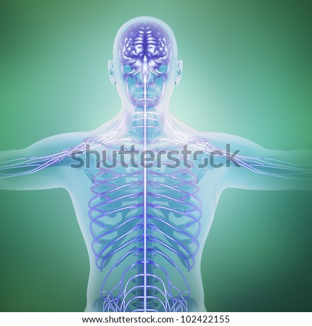 Human anatomy illustration - central nervous system