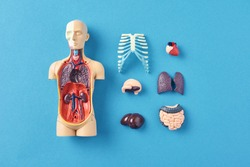 Human anatomy mannequin with internal organs on blue background top view