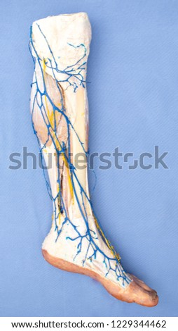 HUMAN ANATOMY -  members of the human body
