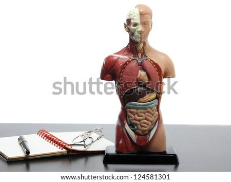 Human anatomy model on the table.White background