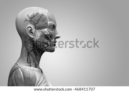 Human Anatomy Of A Female Isolated Muscle Anatomy Of The Face Neck