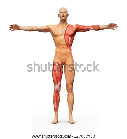 Human anatomy showing muscles underneath the skin