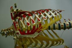 Human anatomy skeleton with ribcage