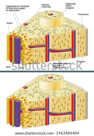 Human anatomy. The bones Structure and ultrastructure of a long bone. The bone marrow. Osteocytes, Haversian canals, epiphysis, bone pituitary. Illustration with and without English captions.