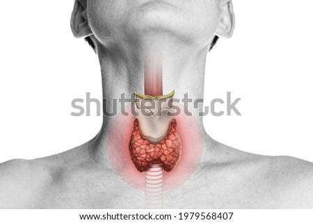 Human anatomy. Thyroid gland in human body on white. Thyroid control. Stock photo ©