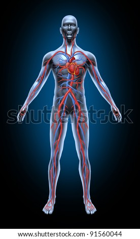 Human blood circulation in the cardiovascular System with heart anatomy from a healthy body isolated on black as a medical health care symbol of an inner organ as a medical chart for health education.