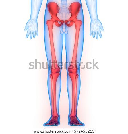Human Body Bone Joint Pains Anatomy Leg Joints 3d Ez Canvas