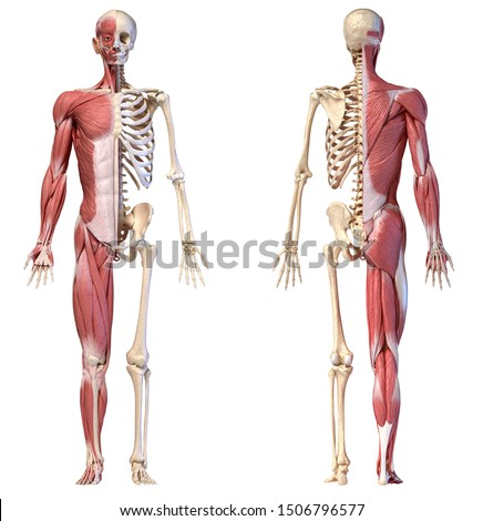 Human body, 3d illustration. Full figure male muscular and skeletal systems, front and back views on white background. Сток-фото ©