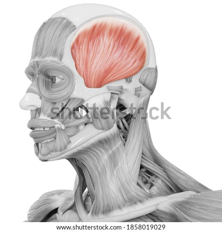 Human Body Muscular System Head Muscles Temporal Muscle Anatomy. 3D Foto stock ©