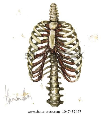 human bones. watercolor...