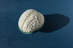 Human brain anatomy model for education physiology isolated on blue background. copy space. no people. Anatomical structure human, physiology, medicine, education, neurology, study guide concept