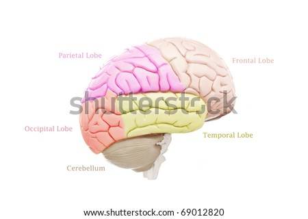 Human brain anatomy on white background