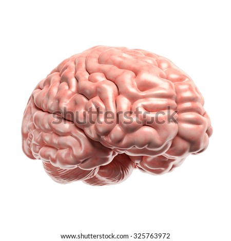 anatomy human brain model on white background.part of human body, Muscles