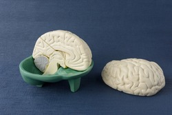 Human brain hemisphere model for education isolated on blue background. copy space. no people. Anatomical structure human, physiology, medicine, education, neurology, study guide concept
