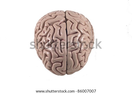 human brain model, isolated - stock photo
